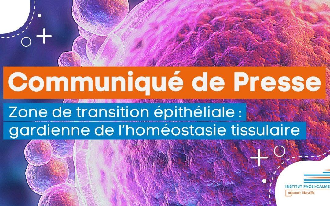 Communiqué de presse : Zone de transition épithéliale : gardienne de l'homéostasie tissulaire